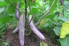 Eggplant (Mistisa)