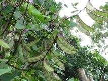 Hyacinth bean 1